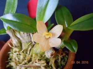 den-laevifolium2