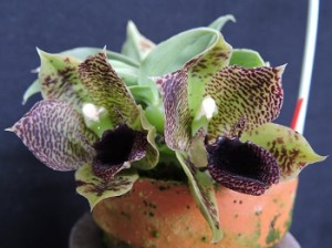 prom.stapelioides