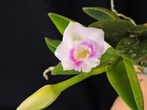 c.araori1